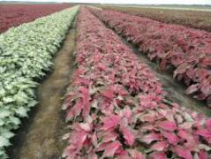 Top to bottom, caladium cultivars 432, 4015 and oat variety FL720 were recently approved for release by the UF/IFAS Cultivar Release Advisory Committee. The panel also approved three new breeding lines for new tomato varieties.