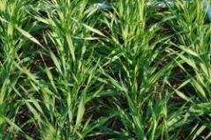 SPRING GREENUP - Valor-Barley 130 lbs 30 DAP
